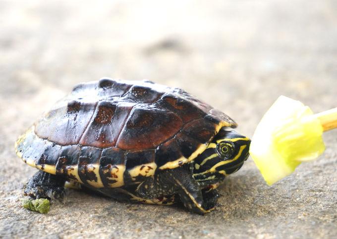 Чем кормить красноухую черепаху? » Aquafors - портал об аквариуме ... | 484x680