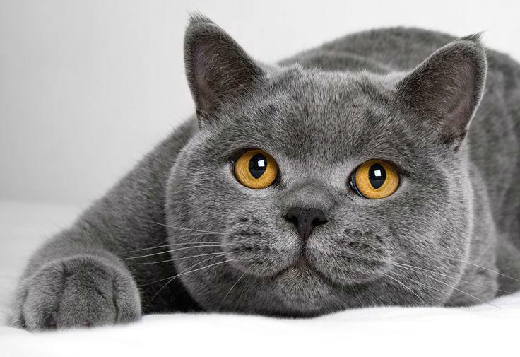 фото английская кошка
