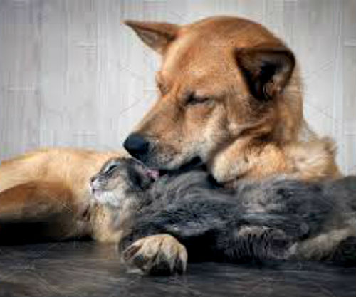Кошка вылизывает собаку