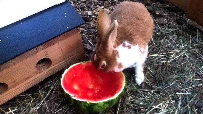 Как угостить кролика арбузом