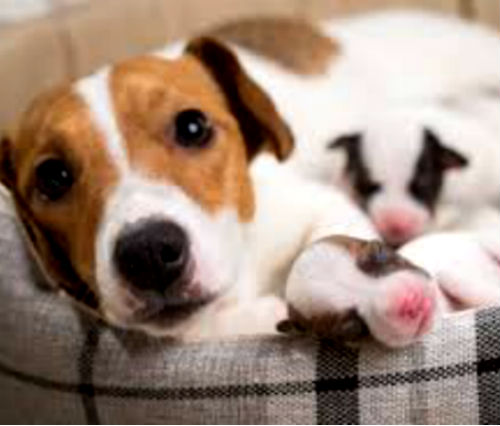 Сколько длиться беременность у собак
