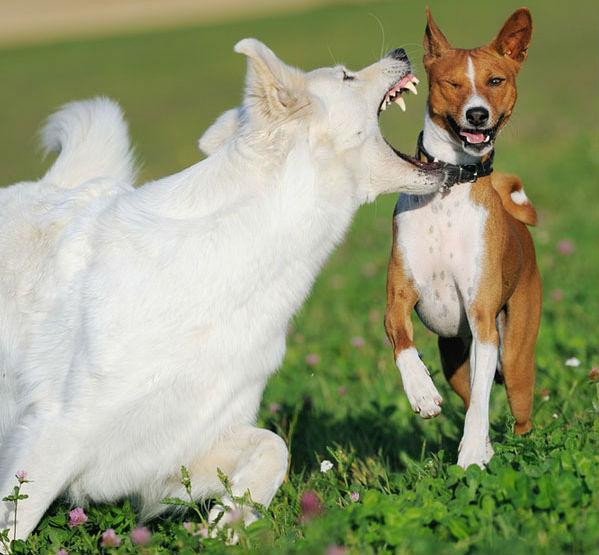 Симптомы и признаки бешенства у собак
